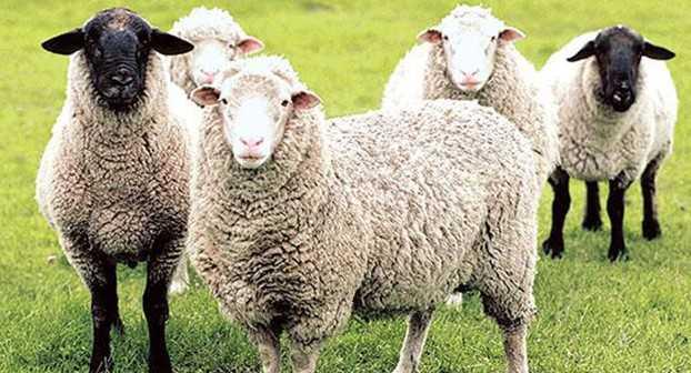 Küçükbaş hayvancılık desteklemeleri - 2019 Hayvancılık Destekleri Nelerdir? Nereye Başvurulur?