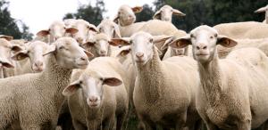 küçükbaş hayvan kredisi 2017 300x146 - 2019 Hayvancılık Destekleri Nelerdir? Nereye Başvurulur?