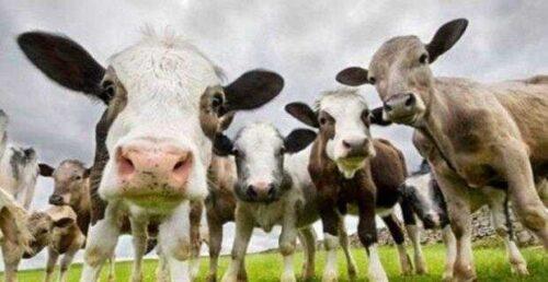 Ziraat Bankası 7 yıl vadeli hayvancılık kredisi