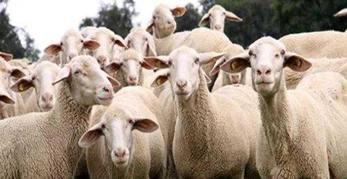 Damızlık koyun, keçi yetiştiriciliği