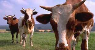 Ziraat Bankası 24 Ay Ödemesiz 5 Yıllık Hayvancılık Kredisi