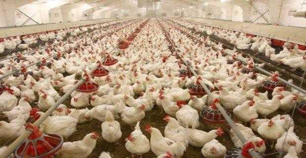 Tavuk Çiftliğine Devlet Desteği 2020 Şartları