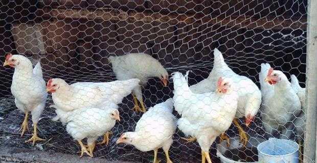 Yumurta ve tavuk çiftliği ile uğraşmak
