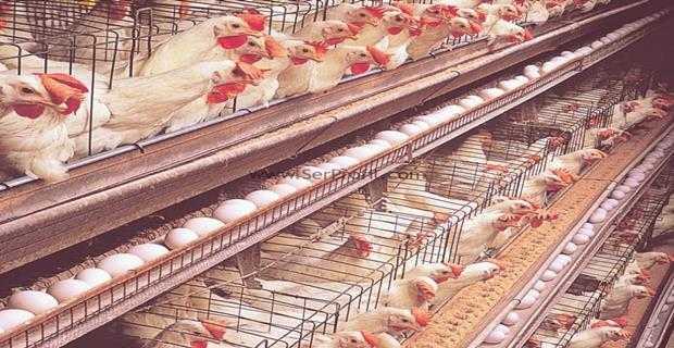 Tavuk çiftliği devlet desteği