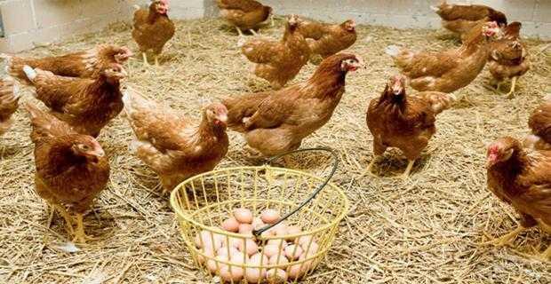 Etlik ve yumurta çiftlik maliyetleri