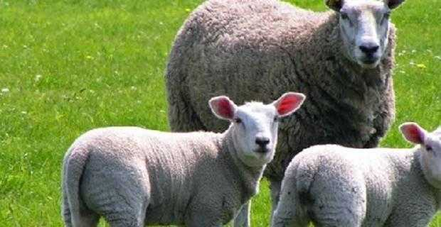 2018 yılı Faizsiz Hayvan Kredisi Destekleri - Ziraat Bankası 7 Sene Vadeli Sübvansiyonlu Hayvan Kredisi