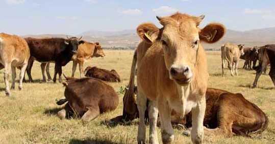 kurbanlık hayvan fiyatları 2018 esnafkefalet.net  - Kurbanlık Fiyatları Açıklandı! (Koyun-Dana)