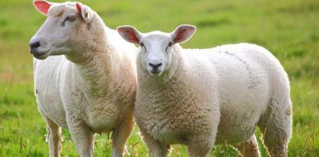 kurbanlık koyun fiyatları 2018 - Kurbanlık Fiyatları Açıklandı! (Koyun-Dana)