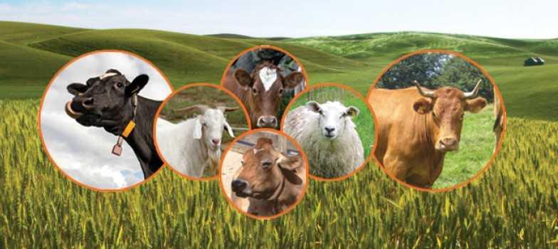 türkiyede-hayvancılık
