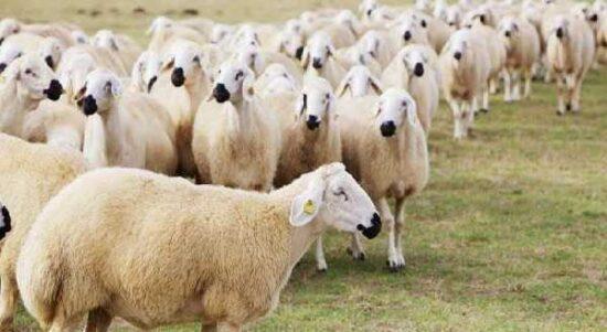Koyun Kredisinden Yararlanmak İçin Gerekli Koşullar