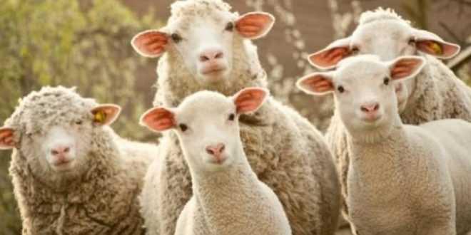 Ziraat Bankası 100 Koyun Kredisi (7 Sene Vadeli)