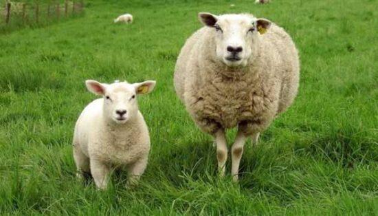 Ziraat Bankası 7 Yıl Vadeli 100 Koyun Kredisi